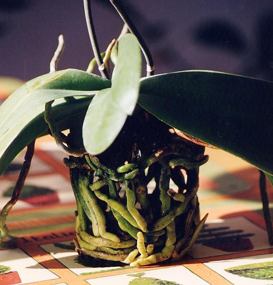 Fiche de culture des orchid es phalaenopsis - Come curare un orchidea in casa ...