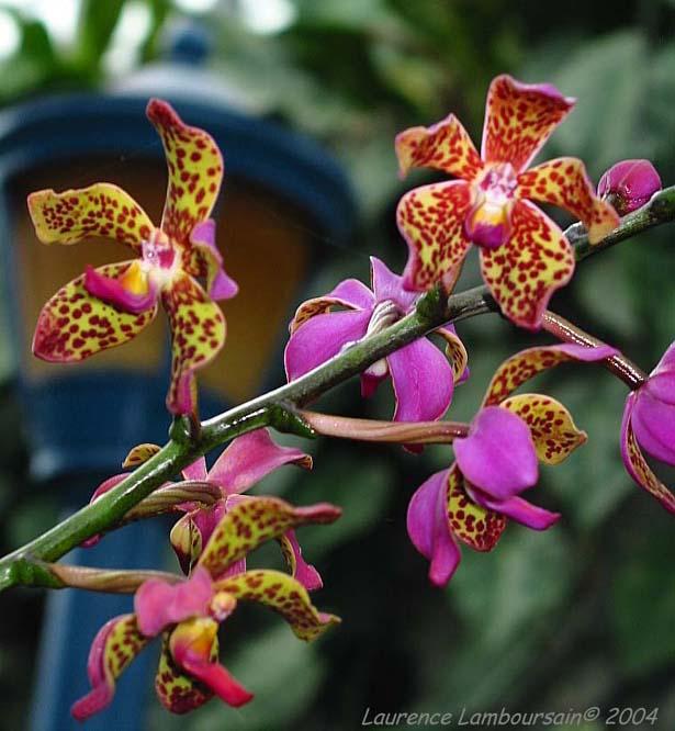 orchidee vanda origine